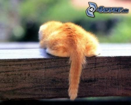 small ginger kitten, tail