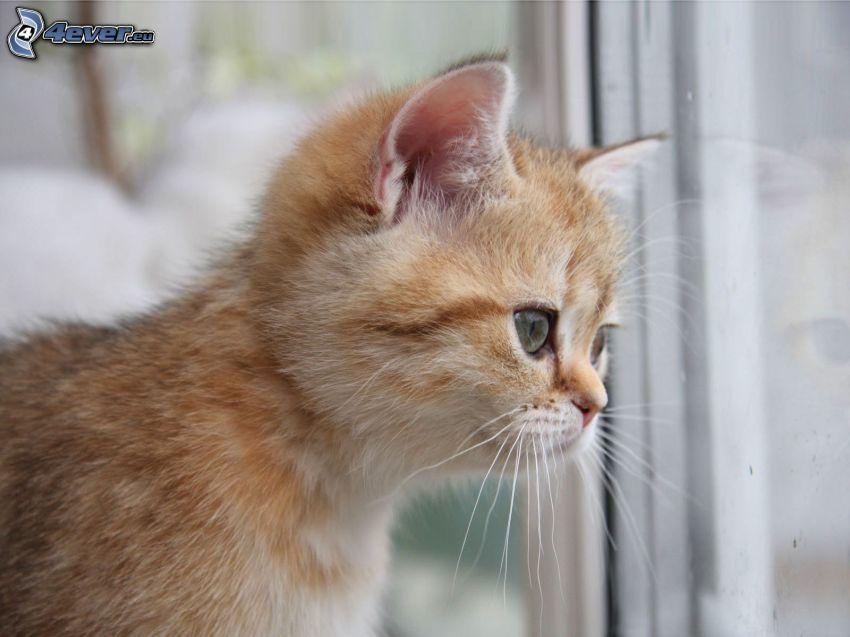 small ginger kitten, window