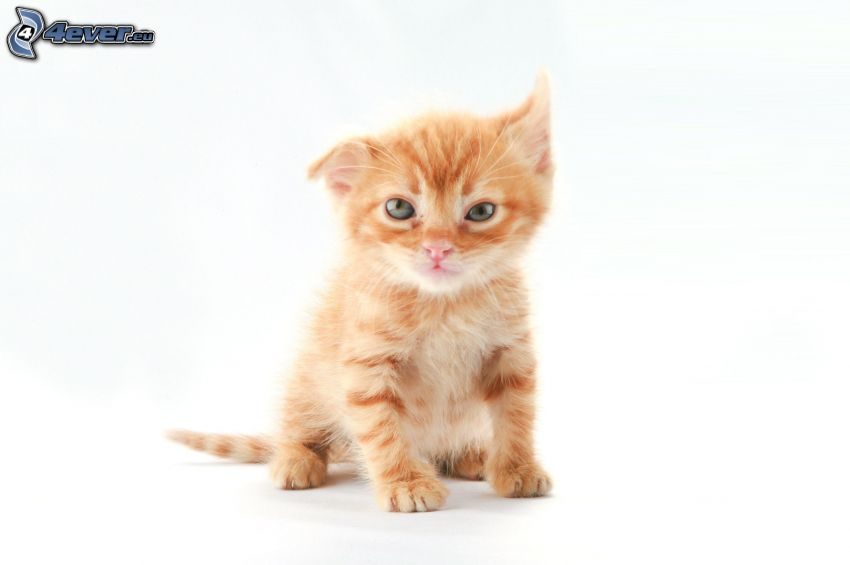 small ginger kitten