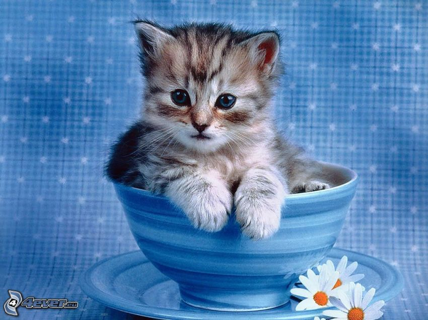 small gray kitten, cup, plate, flowers