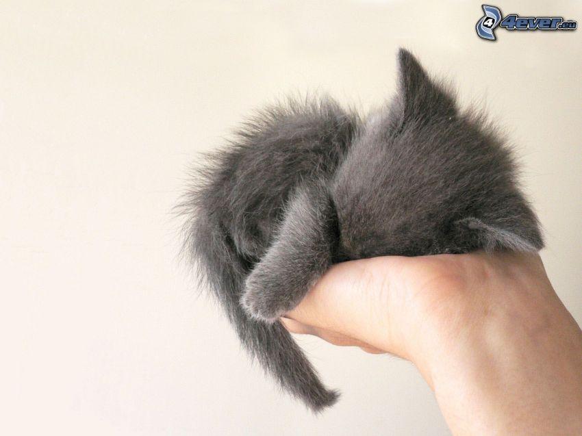 small gray kitten, hairy kitten, hand