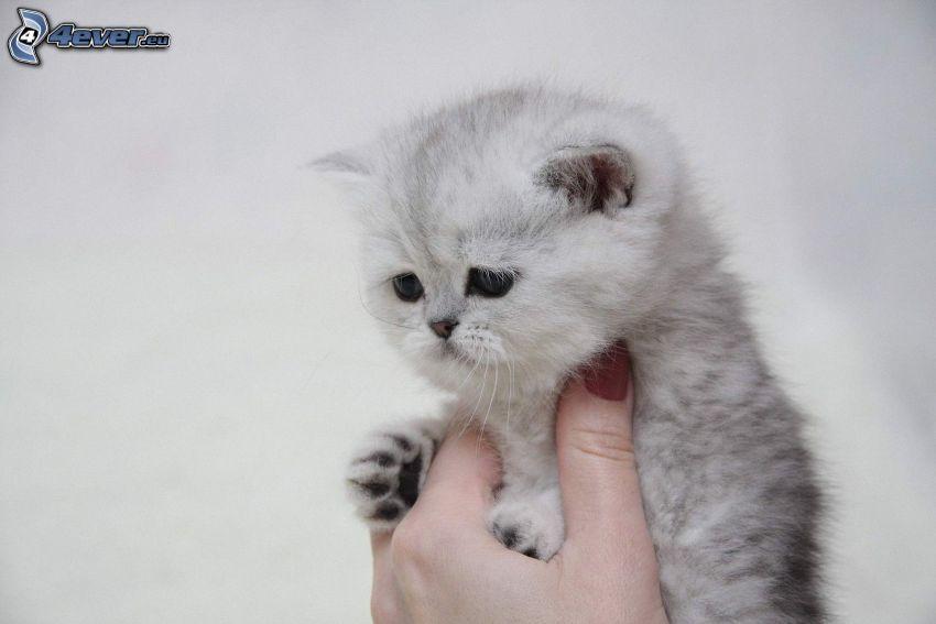 small gray kitten, hand