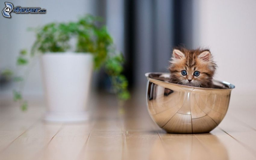 small kitten, bowl