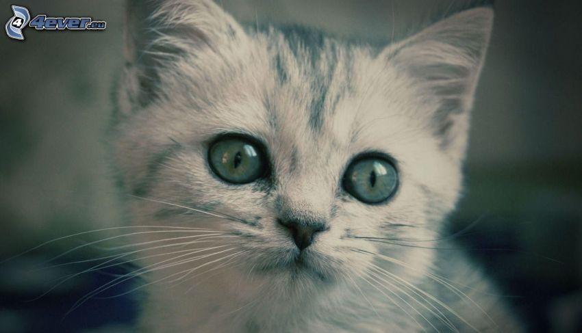 small kitten, cat's look