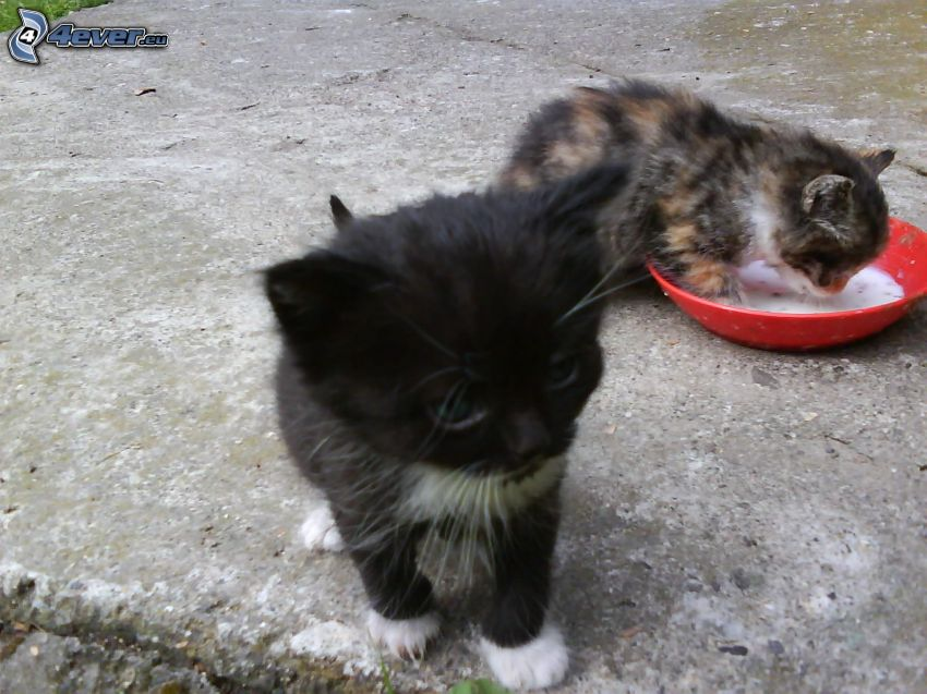 small kittens, bowl, milk
