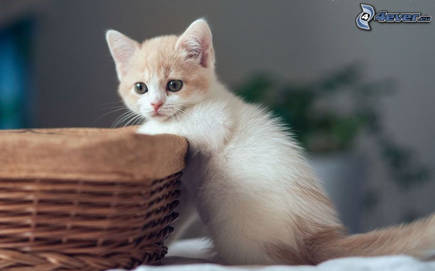 small white kitten, basket