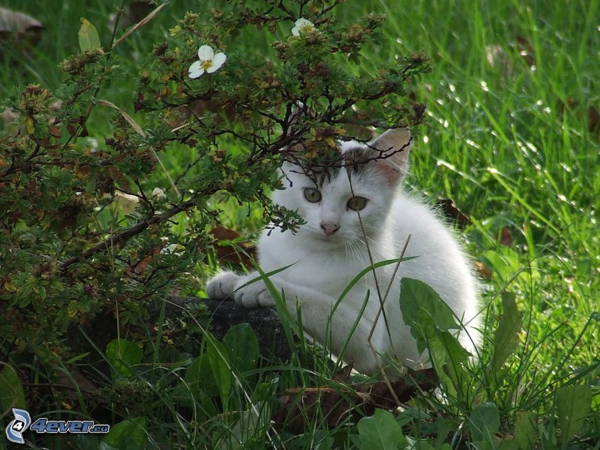 small white kitten, grass