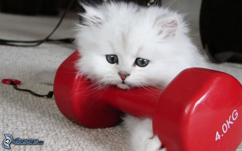 small white kitten, hairy kitten, dumbbell