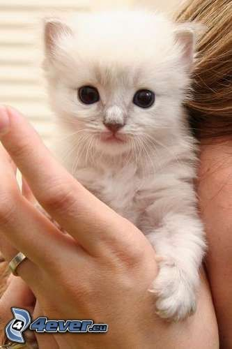 small white kitten, hand
