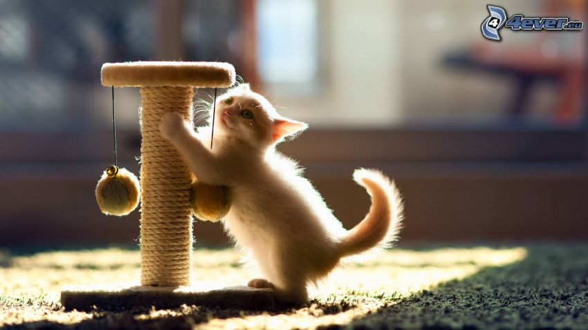 small white kitten, toy