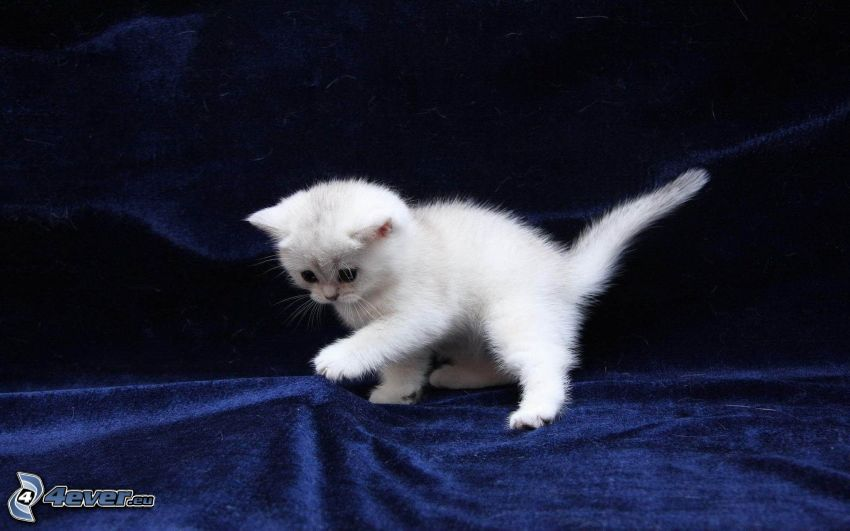 small white kitten