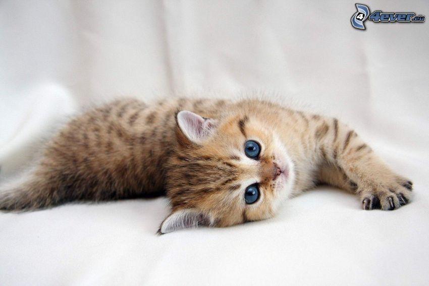 spotted kitten, blue eyes