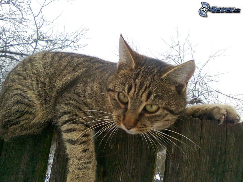 tomcat on the fence, palings, cat, claws