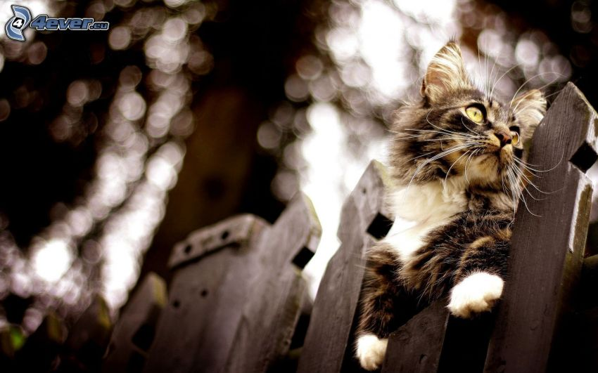 tomcat on the fence, palings