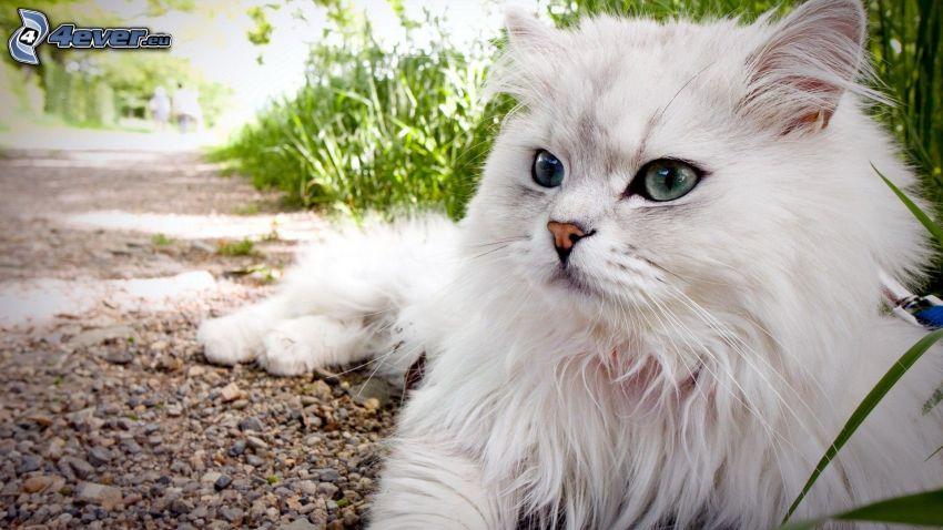 white cat, sidewalk, gravel