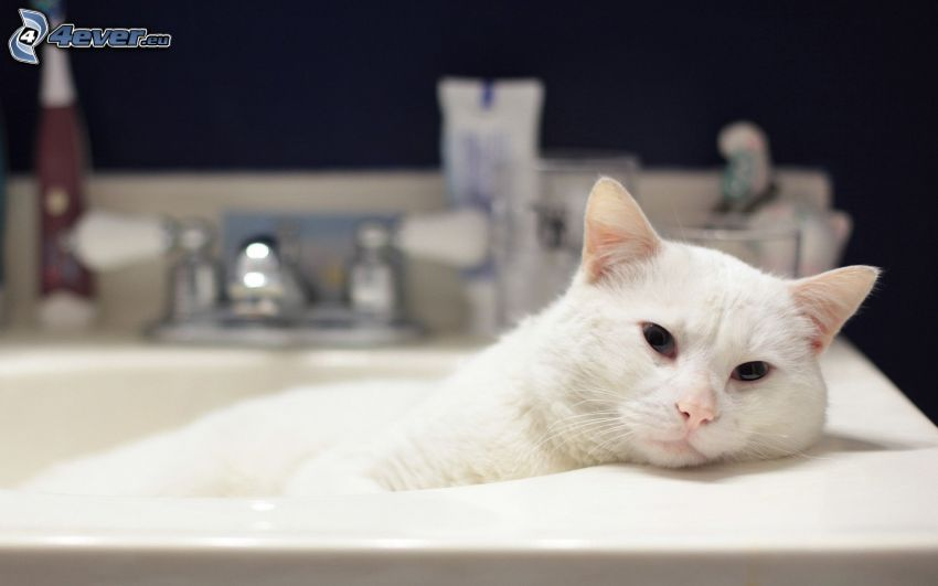 white cat, wash basin