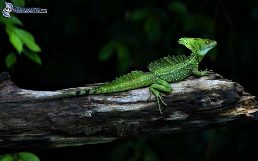 chameleon, stump