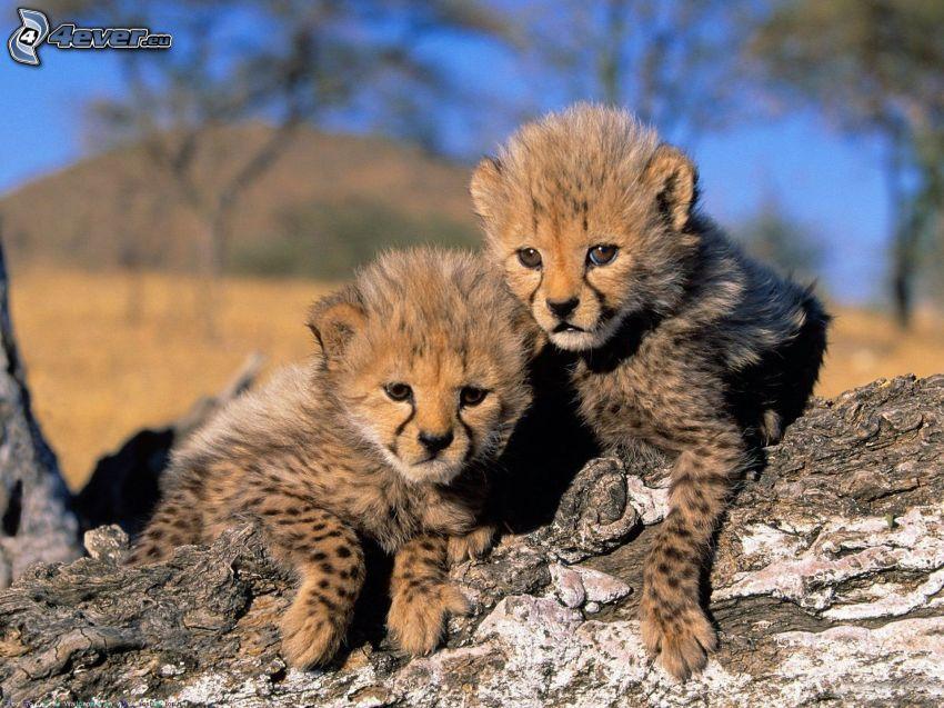cheetahs, cubs, branch