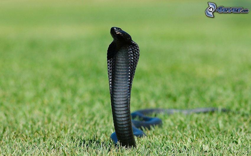 cobra, lawn