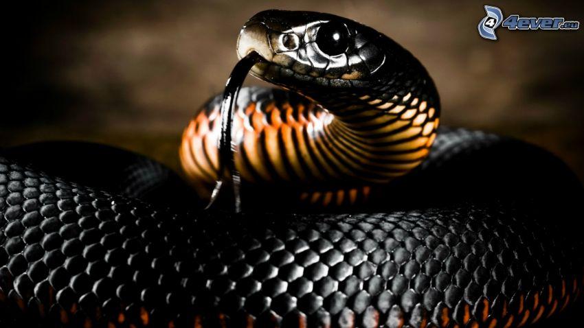 cobra, tongue