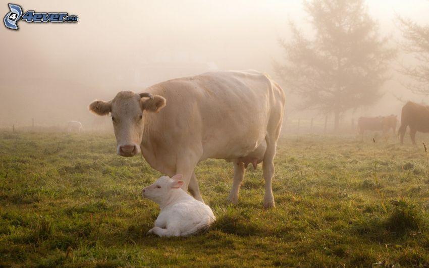 cow, calf, fog