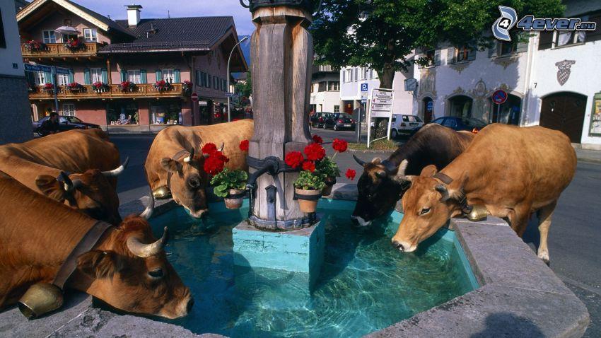 cow, fountain