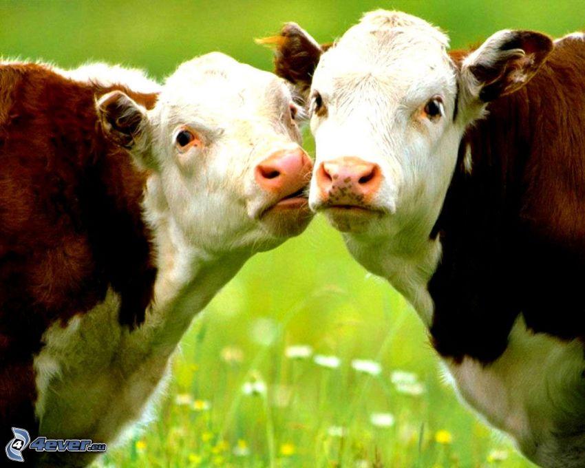 cow, kiss