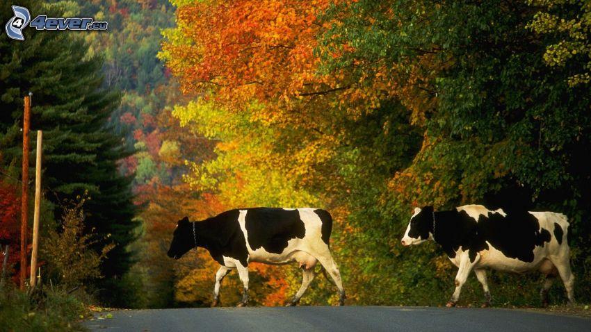 cow, road, autumn trees