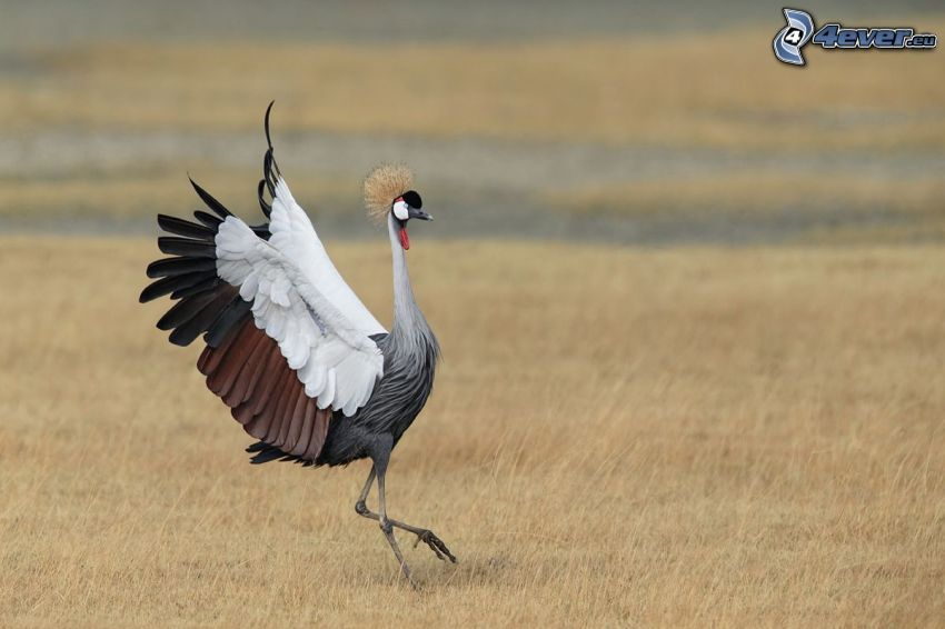 Crowned Crane, field
