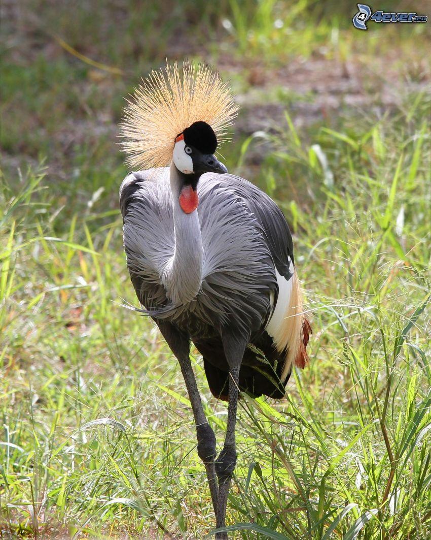 Crowned Crane, grass