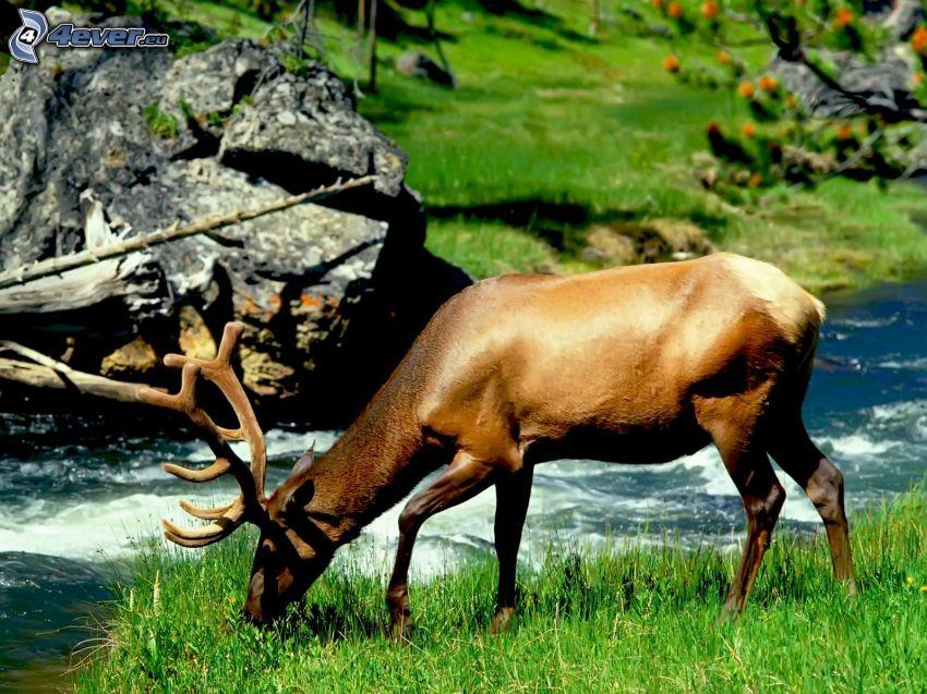 deer, grass, stream