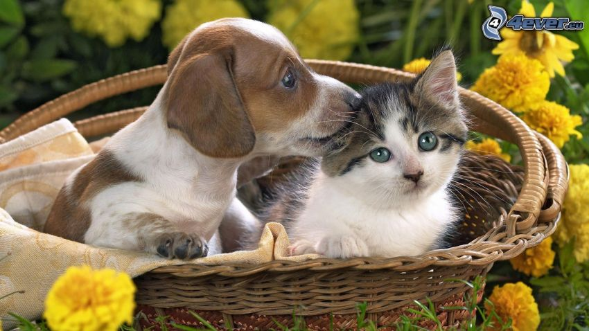 dog and cat, basket