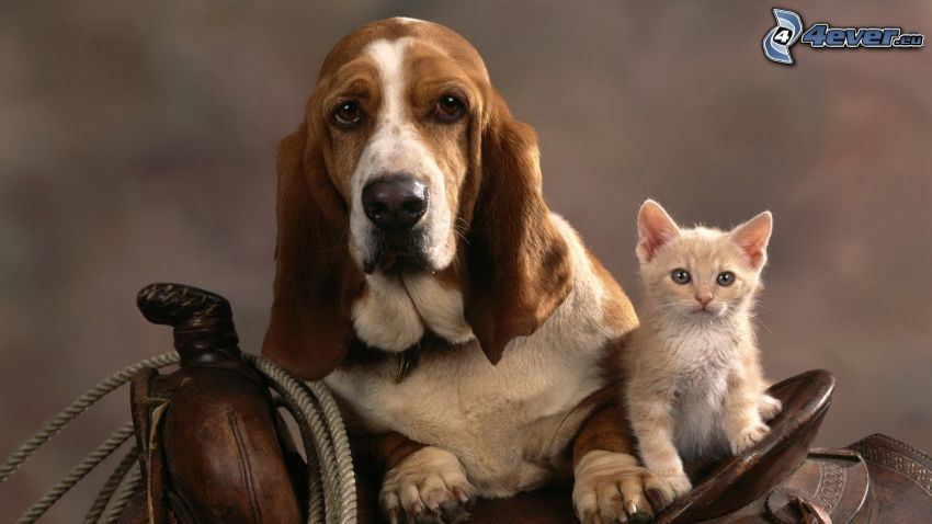 dog and cat, basset