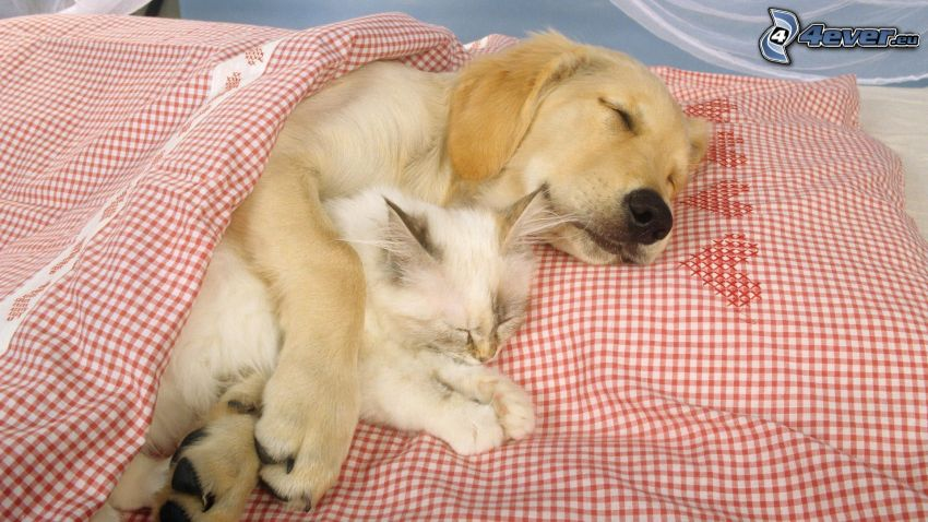 dog and cat, Labrador, sleep, bed