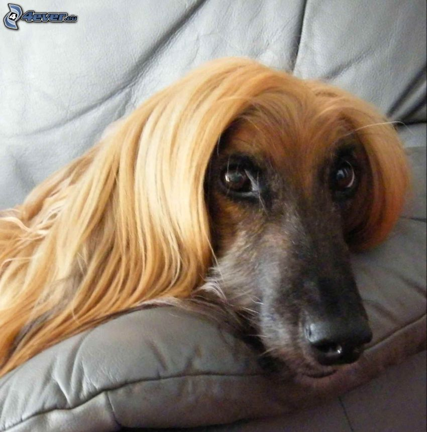 afghan Hound, dog on couch