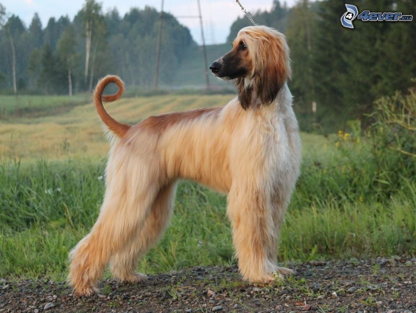 afghan Hound, forest, meadow