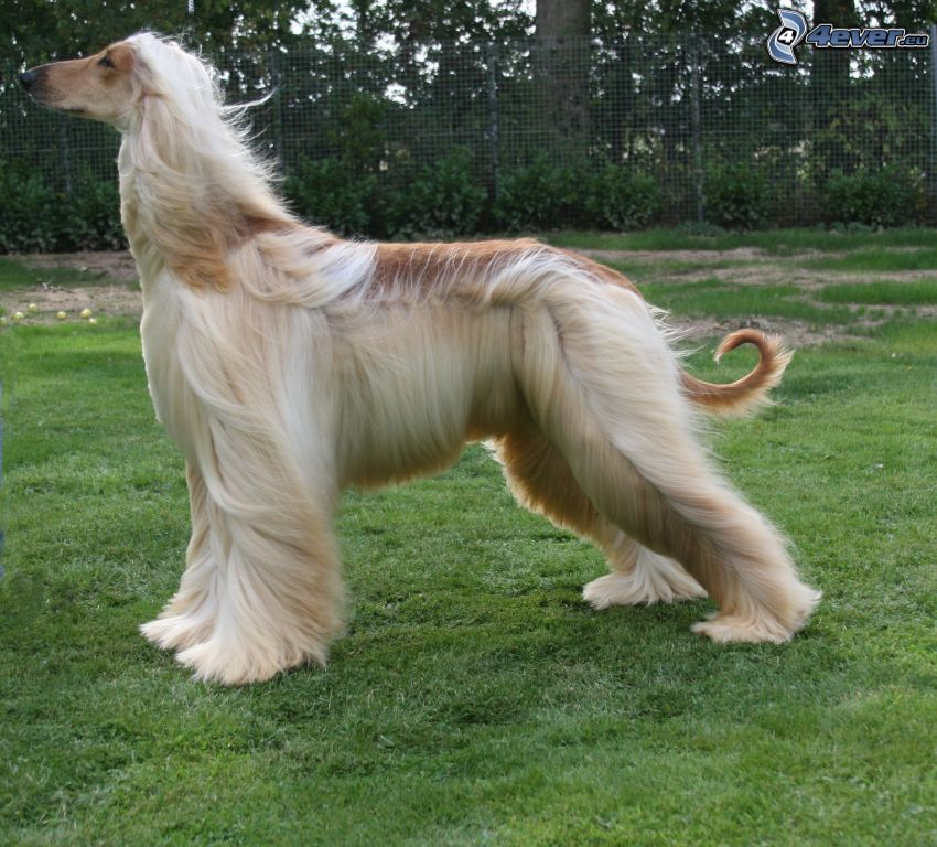 afghan Hound, grass, wire fence