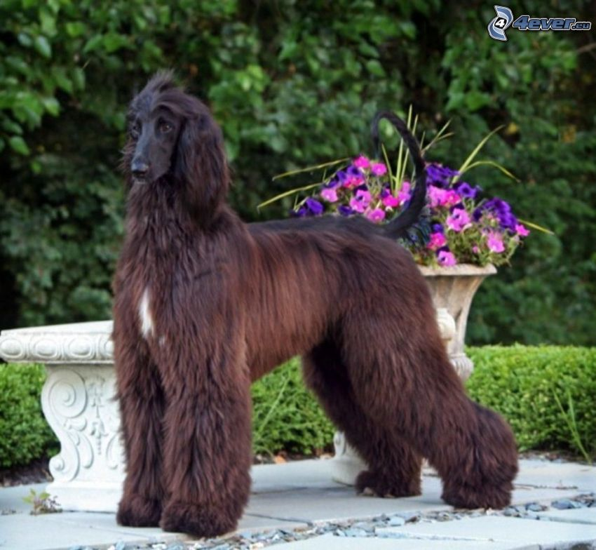 afghan Hound, purple flowers