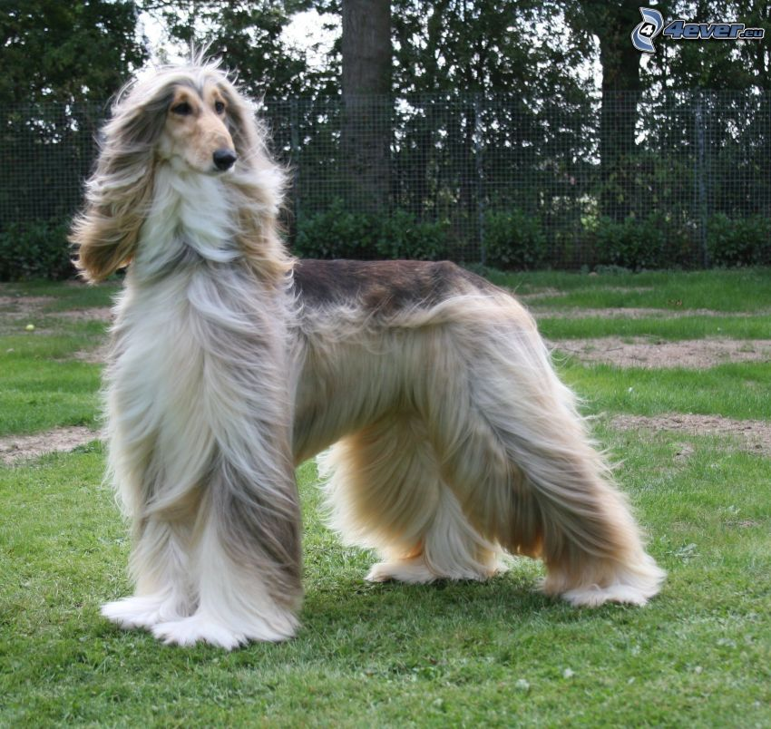 afghan Hound, wire fence