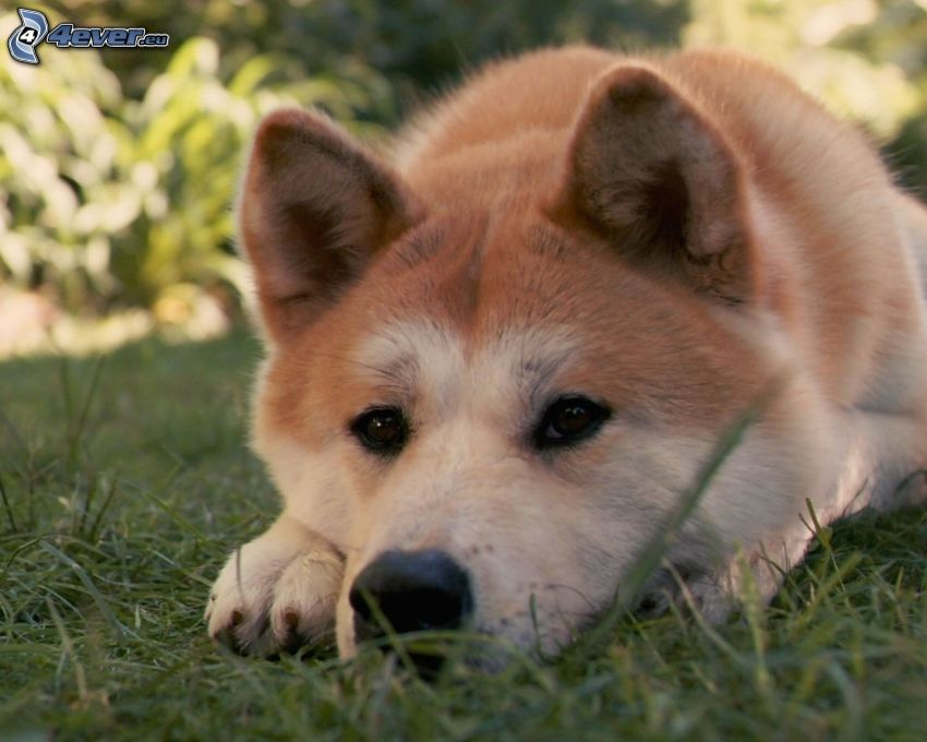 Akita Inu, dog on the grass, dog look