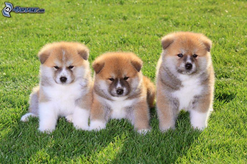 Akita Inu, puppies, grass