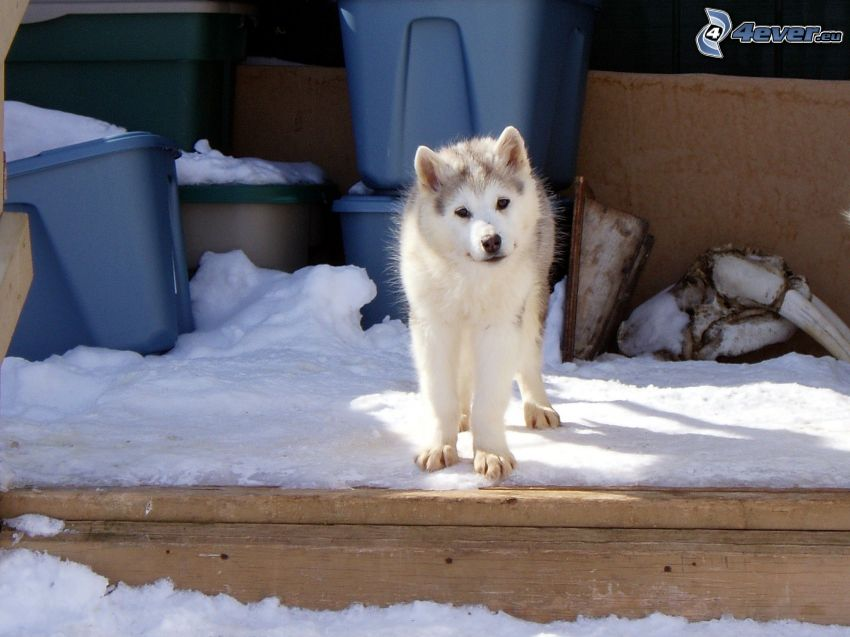 Alaskan malamute, puppy