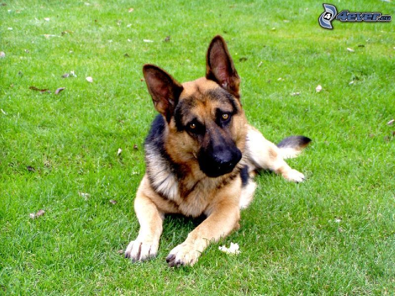 alsatian, dog on the grass