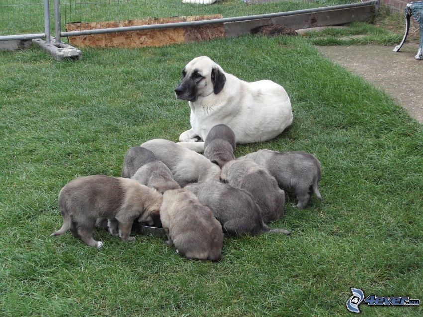 Anatolian Shepherd, puppies