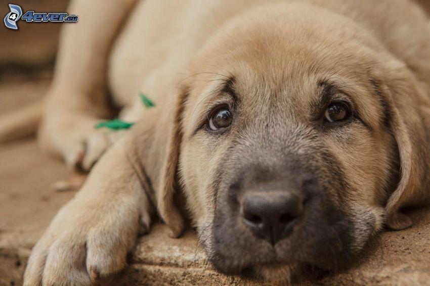 Anatolian Shepherd, puppy