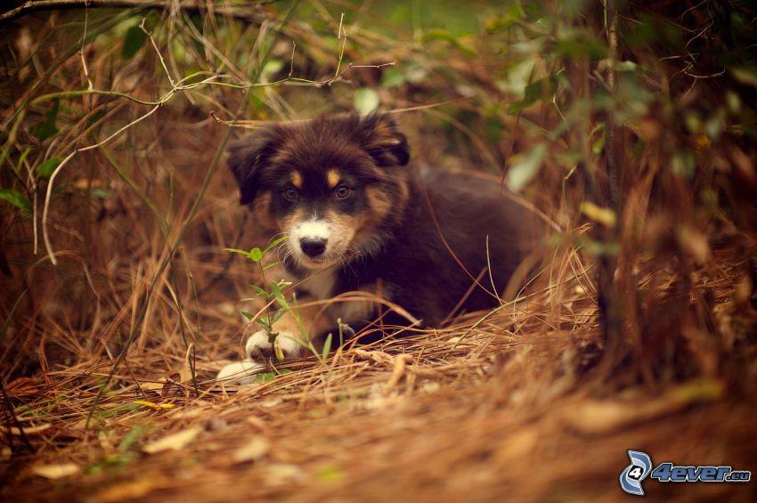 australian shepherd, puppy