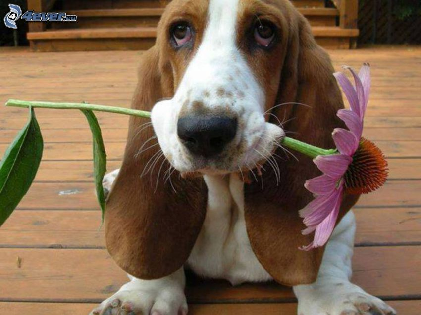 basset, gerbera, dog look