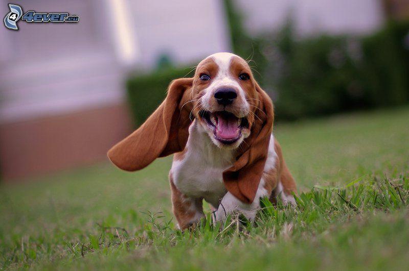 basset, puppy, grass