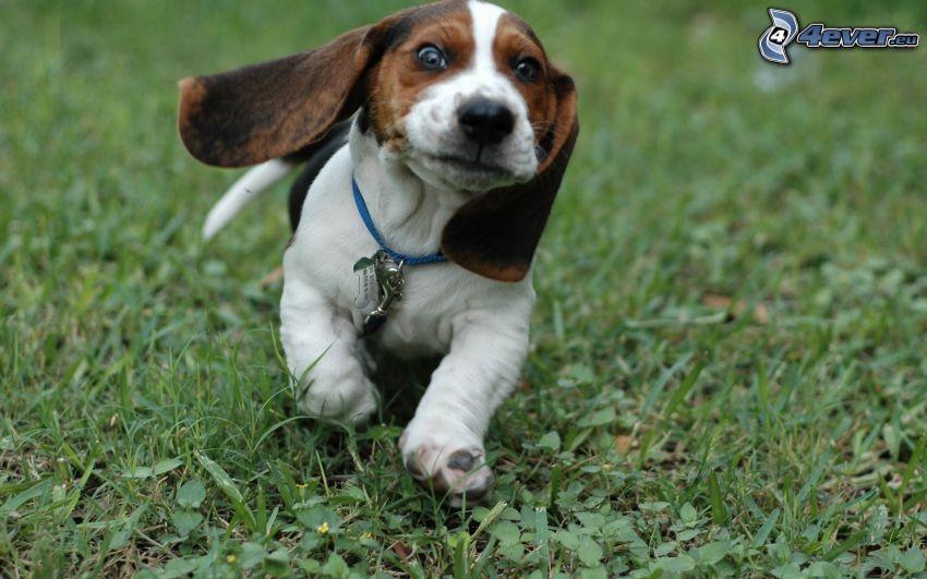 basset, puppy, lawn, long ears, collar, running dog