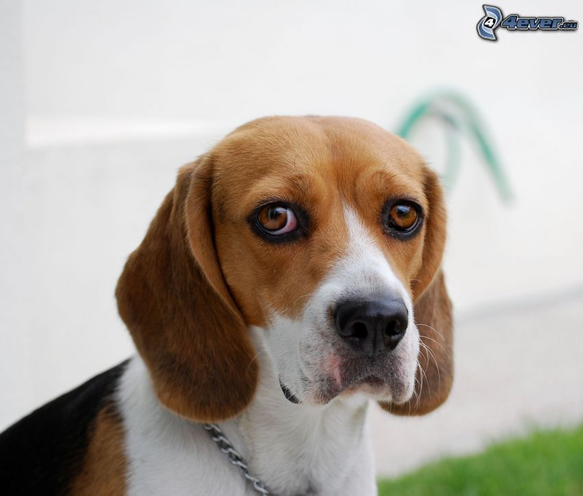 beagle, dog look
